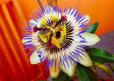 Passion flower. A passion flower with leaves Stock Images