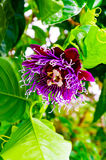 Passion Flower. Local crawling vine flower in Kauai, Hawaii, USA Stock Image