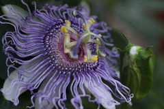 Passion Flower Maypop Bud Royalty Free Stock Photo