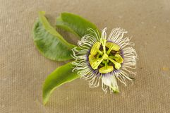 Passion flower (passiflora). Passion flower (passiflora incarnata) with green leaves royalty free stock photography