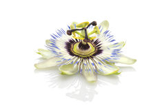 Passion flower(passiflora) Royalty Free Stock Image