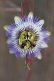 Passion flower (Passiflora caerulea). Close up of a blue passion flower (Passiflora caerulea stock image