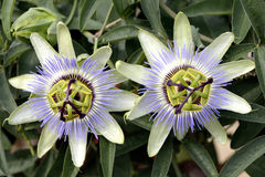 Passion flower - Passiflora caerulea. Passion flower in a garden near Bolzano in South Tyrol in Italy - Passiflora caerulea royalty free stock photo