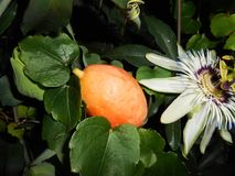 Passion Flower passiflora caerulea. Fruit and flower stock images
