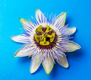 Passion  flower - passiflora Royalty Free Stock Photography