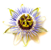 Passion  flower - passiflora Royalty Free Stock Image