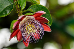 Passion flower or passiflora Royalty Free Stock Photography