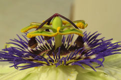 Passion flower ( Passiflora ) - Details Stock Photos