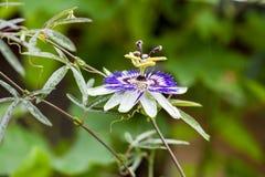 Passion flower (Passiflora incarnata) Stock Photos