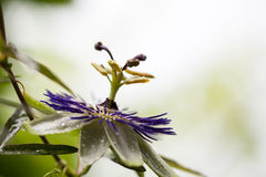 Passion flower (Passiflora incarnata). With details Stock Photography