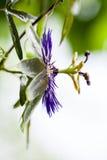 Passion flower (Passiflora incarnata) Stock Images