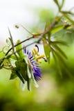 Passion flower (Passiflora incarnata) Royalty Free Stock Image