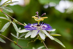 Passion flower Passiflora incarnata. With details stock photography
