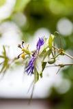 Passion flower Passiflora incarnata. With details stock image