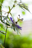 Passion flower Passiflora incarnata. With details royalty free stock photo