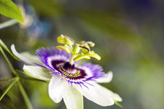 Passion flower Passiflora incarnata royalty free stock images