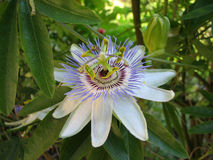 Passion flower Passiflora incarnata with details. In the Batumi Botanical Garden of Georgia royalty free stock images