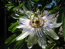 Passion flower Passiflora incarnata with details stock photos