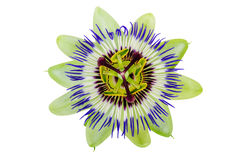 Passion Flower Passiflora isolated clipping path included. Passion Flower (Passiflora) isolated clipping path included royalty free stock photos