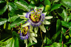 Passion Flower Passiflora. Passiflora, known also as the passion flowers or passion vines, is a genus of about 500 species of flowering plants, the namesakes of royalty free stock image