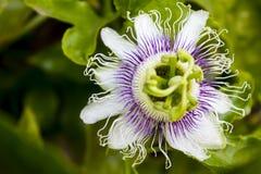 Blooming passiflora Stock Photo