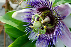 Passion Flower. Single passion flower close up Stock Photography
