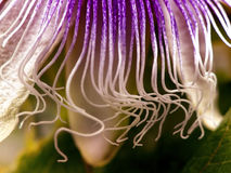 Passion flower tendrils Royalty Free Stock Photo
