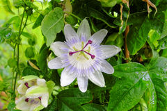 Passion flower white blossom in wet bush. Passion flower blossoming in green leaves outside in a garden, wet after a shower. The Passiflora caerulea - a woody Royalty Free Stock Photography