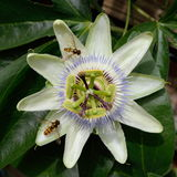 Passion flower Stock Photography