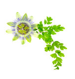 Passion flower and young green fern branch isolated on white bac. Kground, closeup Royalty Free Stock Images