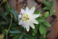 Passion flowers Royalty Free Stock Photography