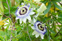 Passion flowers Stock Images