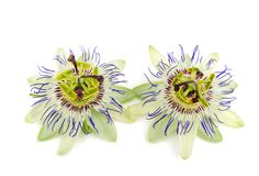 Passiflora Passiflora caerulea Stock Photography