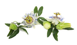 Passion flowers Stock Photography