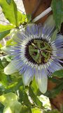 Passion flowers very beautiful  and live so short Stock Photo
