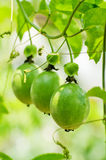 Passion Fruit. The green passionfruit on the tree with leaf royalty free stock images