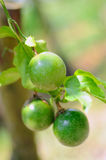 Passion fruit Royalty Free Stock Images
