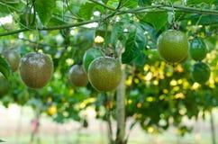 Free Passion Fruit Royalty Free Stock Image - 46079576