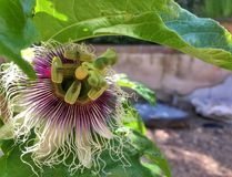Passion Fruit Bloom royalty free stock photos