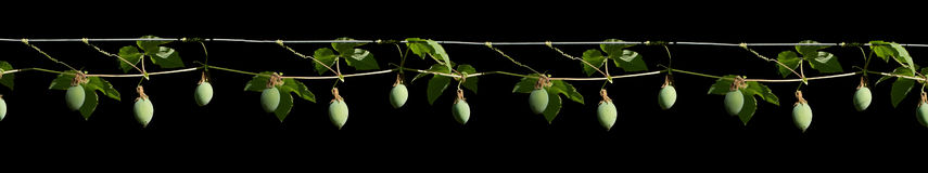 Passion fruit bulb margin Stock Images