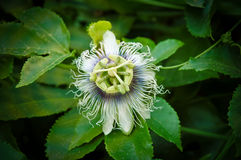 Passion Fruit  . Royalty Free Stock Photo