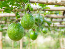 Passion fruit at farm Stock Images