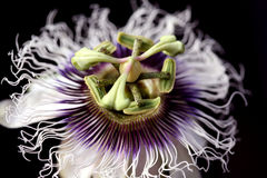 passion fruit flower Royalty Free Stock Images