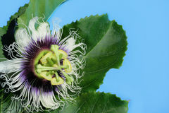 Passion fruit flower. Blossom nice passion fruit flower stock photography