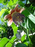 Passion fruit flower. Brazilian passion fruit flower with leaves Stock Photography