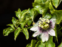 Passion fruit flower. On black isolate background Stock Photo
