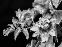 Passion fruit flower. On black isolate background with black and white color effect Stock Photos