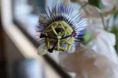 Passion fruit flower blooming stock photos