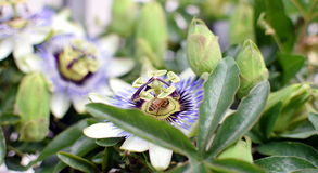 Passion fruit flower. Blossom passion fruit flower with bee Stock Photo