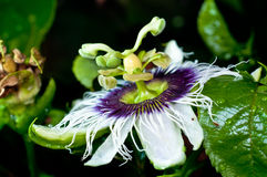 Passion Fruit Flower Closed-up Royalty Free Stock Images